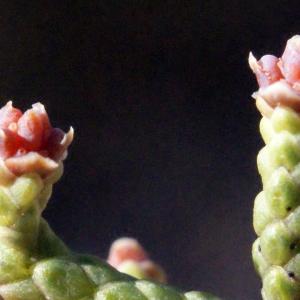 Juniperus phoenicea L. (Genévrier de Lycie)