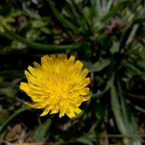 Photographie n°290426 du taxon Crepis sancta subsp. nemausensis (Vill.) Babc. [1941]