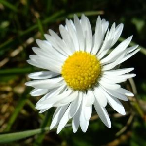 Photographie n°290458 du taxon Bellis perennis L.