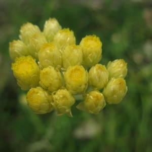 Photographie n°290584 du taxon Helichrysum arenarium (L.) Moench