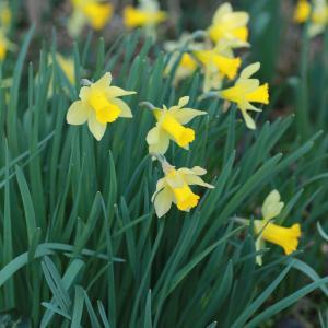 Photographie n°290637 du taxon Narcissus pseudonarcissus subsp. pseudonarcissus