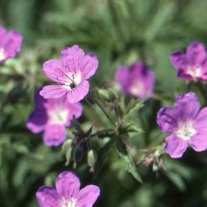 Photographie n°290676 du taxon Geranium sylvaticum L. [1753]