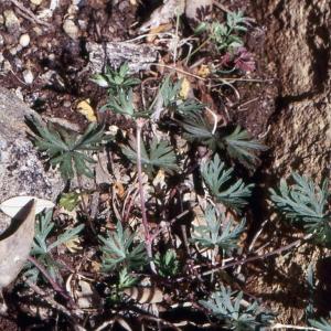Photographie n°290682 du taxon Geranium columbinum L.