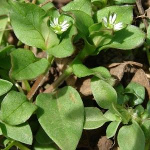 Photographie n°290788 du taxon Stellaria media (L.) Vill. [1789]