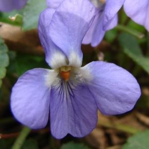 Viola alba Besser (Violette blanche)