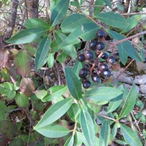 Photographie n°290850 du taxon Ligustrum vulgare L. [1753]