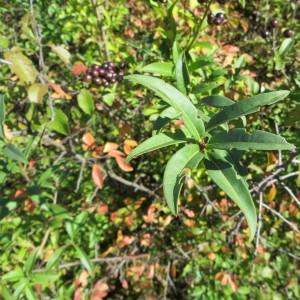 Photographie n°290851 du taxon Ligustrum vulgare L. [1753]
