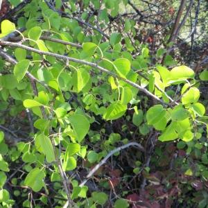 Photographie n°290855 du taxon Prunus mahaleb L.