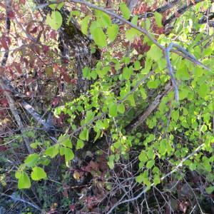 Photographie n°290856 du taxon Prunus mahaleb L.