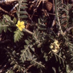 Photographie n°290872 du taxon Tribulus terrestris L. [1753]