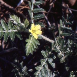 Photographie n°290873 du taxon Tribulus terrestris L. [1753]