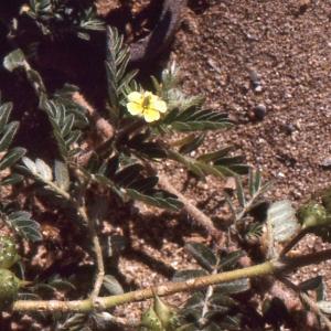 Photographie n°290874 du taxon Tribulus terrestris L. [1753]
