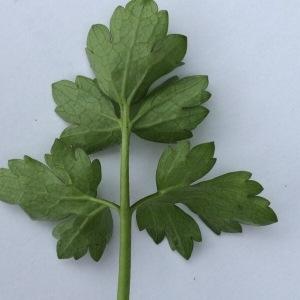 Photographie n°290886 du taxon Ranunculus bulbosus L. [1753]