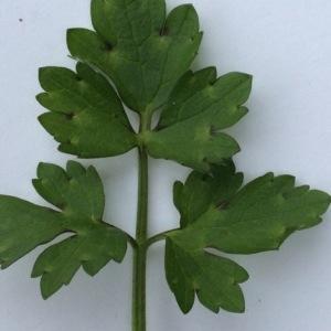 Photographie n°290887 du taxon Ranunculus bulbosus L. [1753]