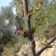 Paul Fabre - Fraxinus angustifolia Vahl