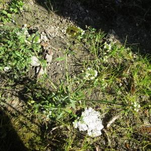 Photographie n°291036 du taxon Capsella bursa-pastoris (L.) Medik. [1792]