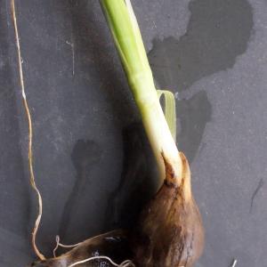Photographie n°291069 du taxon Allium schoenoprasum L.
