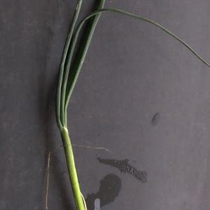 Photographie n°291070 du taxon Allium schoenoprasum L.
