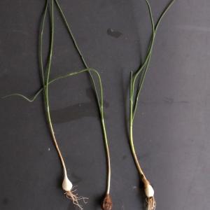 Photographie n°291071 du taxon Allium schoenoprasum L.