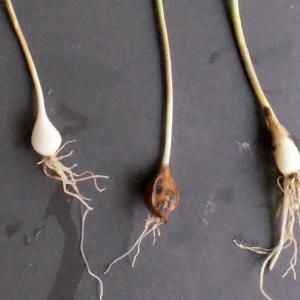 Photographie n°291072 du taxon Allium schoenoprasum L.