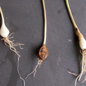 Photographie n°291073 du taxon Allium schoenoprasum L.