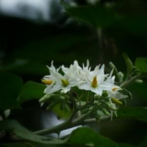 Photographie n°291127 du taxon Solanum L. [1753]