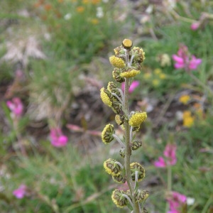 Photographie n°291627 du taxon Artemisia atrata Lam. [1783]