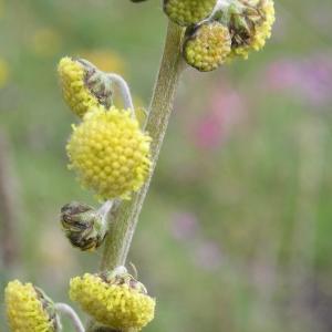 Photographie n°291628 du taxon Artemisia atrata Lam. [1783]