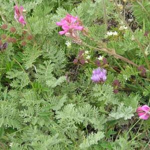 Photographie n°291630 du taxon Artemisia atrata Lam. [1783]