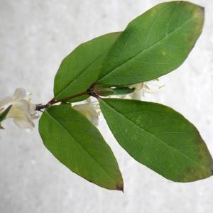 Photographie n°291720 du taxon Lonicera japonica Thunb. [1784]