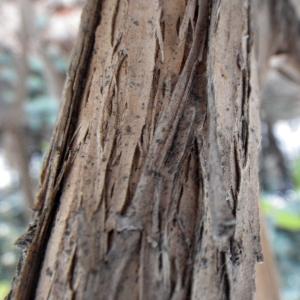 Photographie n°291722 du taxon Lonicera japonica Thunb. [1784]