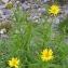 Jean-Pierre LESPINASSE - Buphthalmum salicifolium L. [1753]