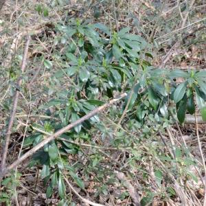 Photographie n°291837 du taxon Daphne laureola L. [1753]