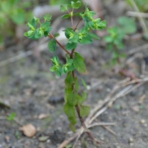 Photographie n°291917 du taxon Euphorbia peplus L. [1753]