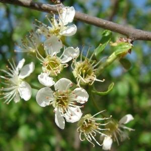 Photographie n°292135 du taxon Prunus mahaleb L.