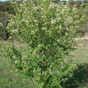 Photographie n°292138 du taxon Prunus mahaleb L.