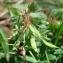 Paul Fabre - Corydalis solida (L.) Clairv.