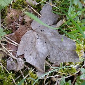 Photographie n°292154 du taxon Acer pseudoplatanus L.