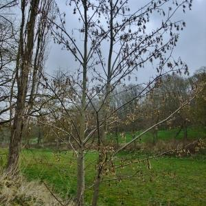 Photographie n°292155 du taxon Acer pseudoplatanus L.