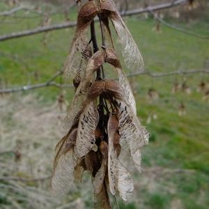 Photographie n°292156 du taxon Acer pseudoplatanus L.