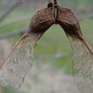Photographie n°292157 du taxon Acer pseudoplatanus L.