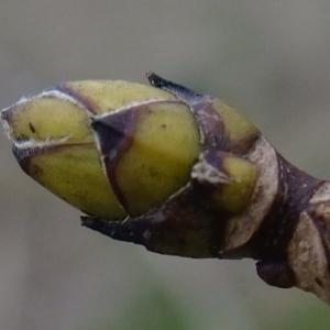 Photographie n°292160 du taxon Acer pseudoplatanus L.