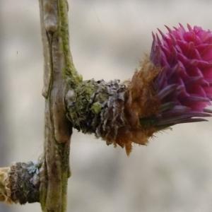 Photographie n°292161 du taxon Larix decidua Mill.