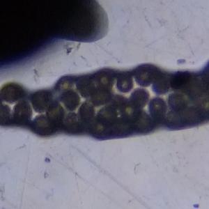 Photographie n°292167 du taxon Larix decidua Mill.