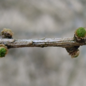 Photographie n°292171 du taxon Larix decidua Mill.