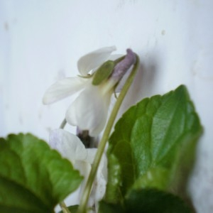 Photographie n°292288 du taxon Viola hirta L. [1753]