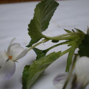 Photographie n°292289 du taxon Viola hirta L. [1753]