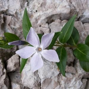 Photographie n°292431 du taxon Vinca difformis Pourr. [1788]