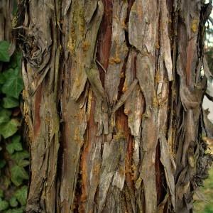 Chamaecyparis nootkatensis (D.Don) Spach (Cyprès de Nootka)