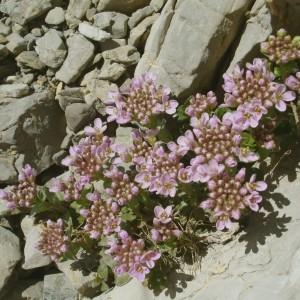 Photographie n°292537 du taxon Noccaea rotundifolia (L.) Moench [1802]